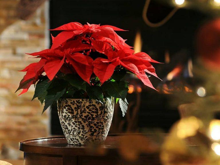 La Poinsettia, la planta más típica de Navidad